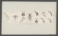 Dioctria - Print - Iconographia Zoologica - Special Collections University of Amsterdam - UBAINV0274 038 07 0002.tif