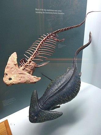 Diplocaulus - Skeleton and model of Diplocaulus magnicornus