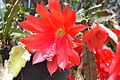 Disocactus × violaceus (8168741531).jpg