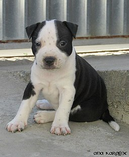 https://upload.wikimedia.org/wikipedia/commons/thumb/c/c1/Dog_black_and_white_puppy.jpg/256px-Dog_black_and_white_puppy.jpg