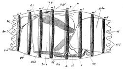Doliolum – Wikipedia