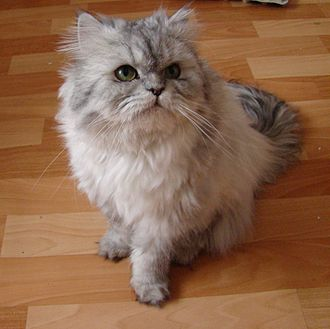 Persian cat - A doll-face silver Persian.