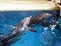 Dolphins (7980974183).jpg