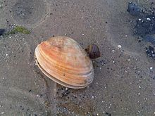 Donax variabilis - Isle of Wight 1.jpg