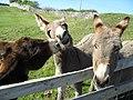 Donkeys 337 (9984956276).jpg