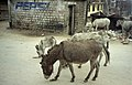 Donkeys in Manali (7439919634).jpg