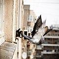 Dove (8421013619).jpg