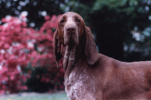 Bracco Italiano - Frontal.