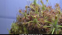 File:Drosera enodes time lapse after feeding fish food.webm