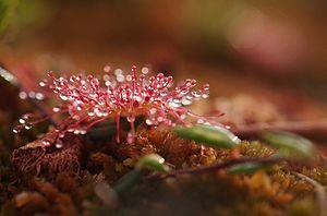Drosera rotundifolia L.jpg