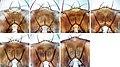 Drosophila (Dudaica) (10.3897-zookeys.781.27354) Figure 5.jpg