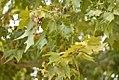 Drvenste vrste biljaka, Niška tvrđava, Niš, Srbija (227).jpg