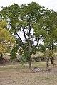 Drvenste vrste biljaka, Niška tvrđava, Niš, Srbija (38).jpg