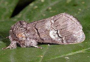 Weißbinden-Zahnspinner (Drymonia querna)