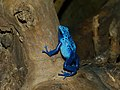 Dyeing Dart Frog (Dendrobates tinctorius) 'azureus' morph - Zoo du Lunaret, Montpellier, France.jpg