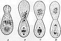 EB1911 Rhizopoda - Bud-fission of Euglypha alveolata.jpg