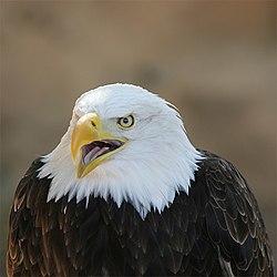 Eagle Bokeh.jpg