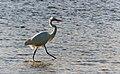 Eastern Great Egret. (20984033494).jpg