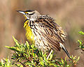 Eastern Meadowlark, Kissimmee, Florida 2.jpg