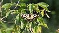 Eastern Tiger Swallowtail (Papilio glaucus) (37367780210).jpg