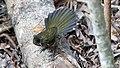 Eastern Whipbird (Psophodes olivaceus) (30579994944).jpg