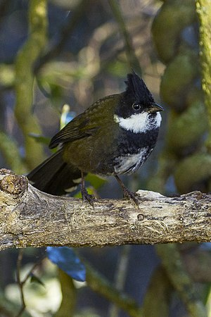 Eastern Whipbird - Lamington NP - Queensland MG 3955 (22360455556).jpg