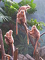 Ebony Langur Javan Lutung Trachypithecus auratus at Bronx Zoo 3.jpg
