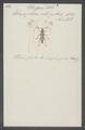 Eburigera - Print - Iconographia Zoologica - Special Collections University of Amsterdam - UBAINV0274 033 17 0006.tif