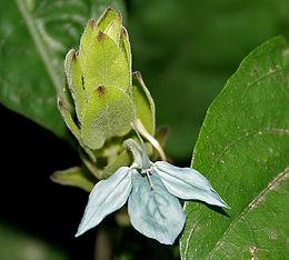 Ecbolium ligustrinum (Green ice crossandra) W IMG 4229