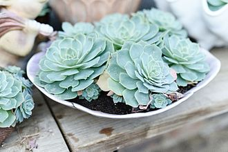 Botany - Echeveria glauca in a Connecticut greenhouse. Botany uses Latin names for identification, here, the specific name glauca means blue.