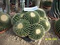 Echinocactus (3424144569).jpg