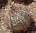 Echinocactus horizonthalonius 1.jpg