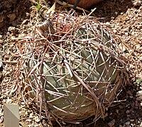 Echinocactus horizonthalonius 1
