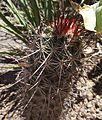 Echinocereus ferreirianus.jpg