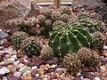 Echinopsis echinobivia 'White Knight' c-1009 - 03.jpg