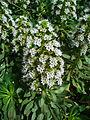 Echium decaisnei purpuriense 002.JPG