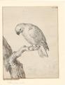 Eclectus roratus - 1710-1792 - Print - Iconographia Zoologica - Special Collections University of Amsterdam - UBA01 IZA1000726.tif
