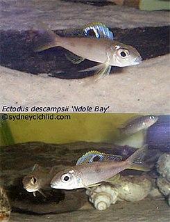 <i>Ectodus descampsii</i> species of fish