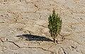 Eenzaam plantje (zeekraal Salicornia) trotseert de soms barre elementen. Locatie, Noarderleech Provincie Friesland 02.jpg