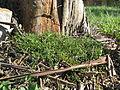 Einadia nutans subsp nutans plant8 (16128405357).jpg