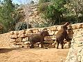 Elephas maximus in Jerusalem Biblical Zoo PikiWiki Israel 16659 Wildlife and Plants of Israel.jpg