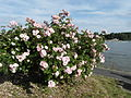 Eltville, roses on the Rhine.JPG