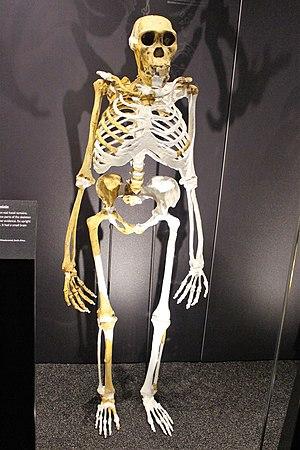 Em - Australopithecus sediba - 1.jpg