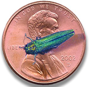 English: Emerald ash borer (Agrilus planipenni...