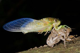 Emerging cicada.jpg