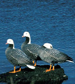 Emperor goose - Emperor geese at Adak Island