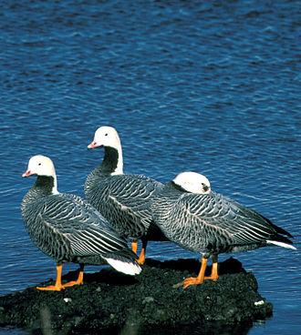 Adak Island - Emperor geese at Adak Island Clam Lagoon