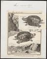 Emys europaea - 1700-1880 - Print - Iconographia Zoologica - Special Collections University of Amsterdam - UBA01 IZ11600117.tif