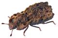 Enarsus cucullatus Sharp (30856656046).png