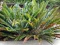 Encephalartos senticos.jpg